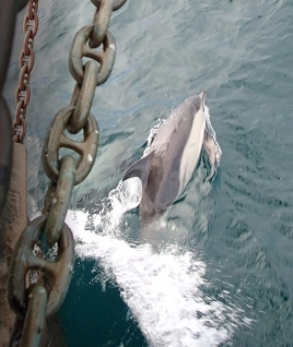 Dolphin at the bows of Pelican