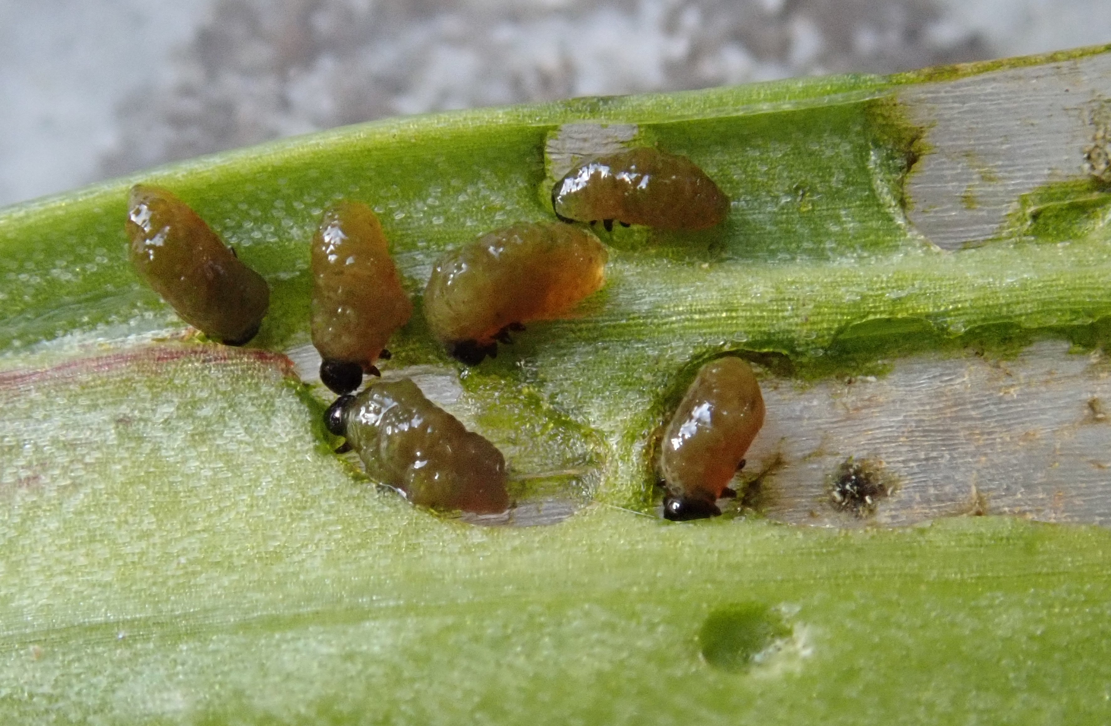 Lily beetle grubs munching on lily leaves