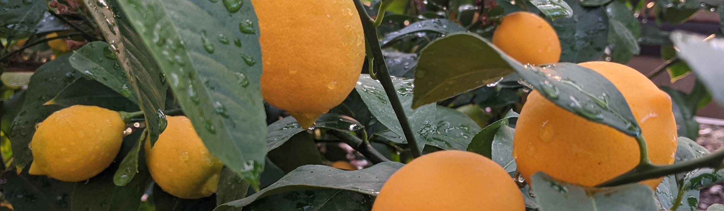 Meyer's lemons. Photo: C Braungardt, 2021